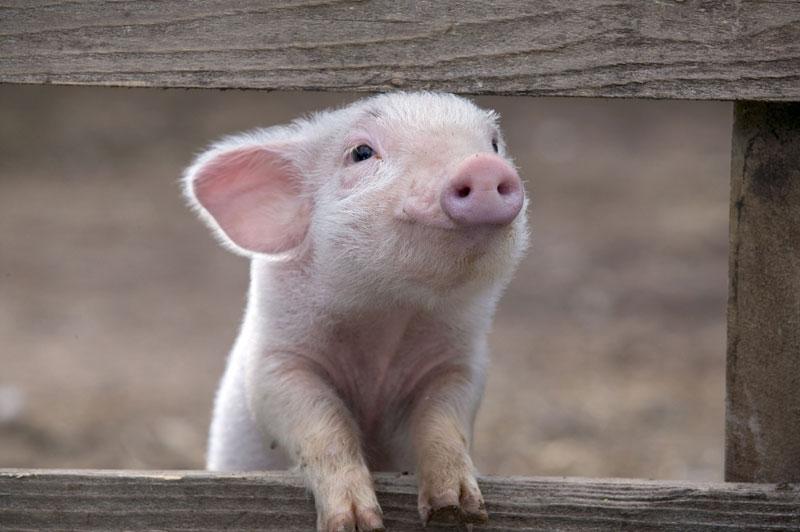 control-ambiental-en-produccion-porcina